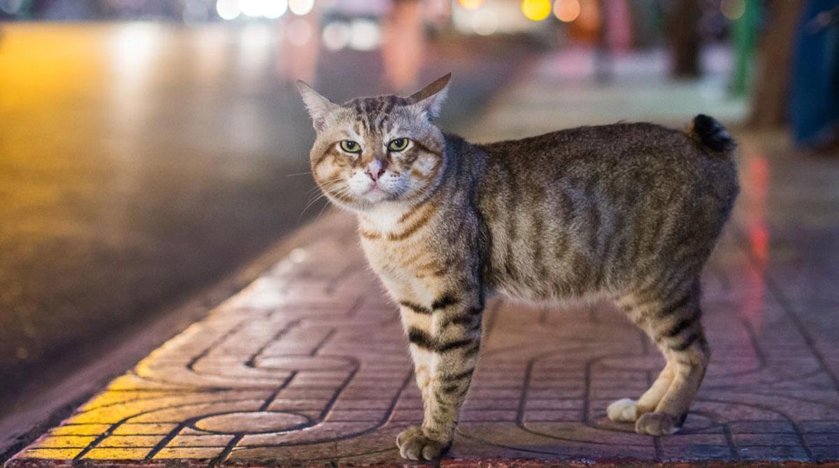 manx-cat-1