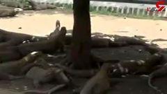 تولد دهها نوزاد اژدهای کومودو در باغ وحش + فیلم