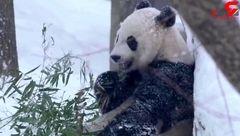 برف بازی دیدنی پاندای مادر و بچه پاندا+فیلم