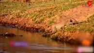 جدال دیدنی پلنگ گرسنه با تمساح آفریقایی بر سر طعمه + فیلم