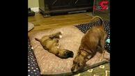 مهربانی سگ معلول با توله سگ بیمار+فیلم