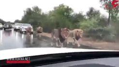 وحشت رانندگان از دیدن صحنه ای باورنکردنی در جاده +فیلم