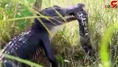 شکار پیتون ۱۶ متری توسط کروکودیل + فیلم