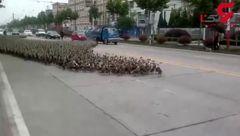 رژه زیبای 5 هزار اردک در خیابان + فیلم واقعا دیدنی