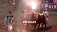 شکنجه عجیب گاوها برای تفریح و سرگرمی! + فیلم