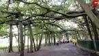 درخت عجیبی که خود یک جنگل است! +فیلم