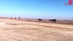 لحظه شاخ به شاخ شدن 2 اسب  در پیست سوارکاری گناباد / نفر اول سقوط کرد