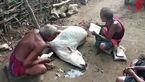 مرگ یک گاو به دلیل استفاده از جادوگر به جای دامپزشک + فیلم