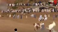 برگزاری نوعی مسابقه عجیب گاوبازی در پاکستان! +فیلم
