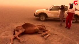 شدت وزش طوفان شن جان شتر را در بیابان کرمان گرفت + فیلم