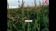 فیلم فرود وحشتناک هواپیمای مسافربری / مسافران خارجی خونسرد در مزرعه قدم می زنند! + جزییات