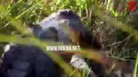 صحنه وحشتناک حمله کروکودیل به مار عظیمالجثه +فیلم