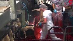 کشتار بی رحمانه گوسفند + فیلم