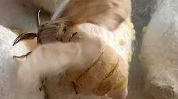 فیلم شگفت انگیز از پروانه کرم ابریشم
