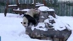 ذوق زده شدن خرسهای پانادا در اولین بارش برف + فیلم