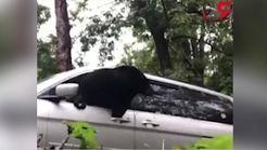 شیوه دیدنی خارج شدن خرس از یک خودرو + فیلم