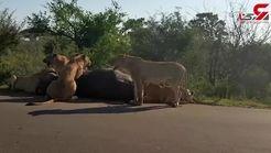 شکار جالب بوفالو توسط شیر های گرسنه+فیلم