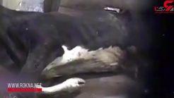 فیلم هولناک سلاخی کردن گاوهای بیمار در کشتارگاه+فیلم