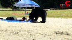 حرکت بامزه خرس گرسنه در ساحل+ تصویر