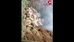 فجیع ترین فیلم از زنده زنده سوزاندن یک گله حیوان در چاله /16+