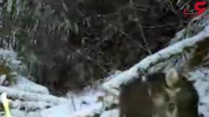 مشاهده شدن گونهای نادر از خرس پاندا در چین + فیلم