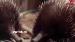 گرما زدگی حیوانات باغ وحش تارونگای استرالیا +فیلم