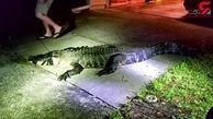 حمله تمساح به خانه مردی جوان+ فیلم