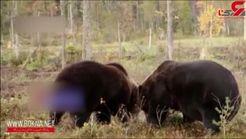 نبرد دیدنی خرسهای گریزلی با یکدیگر + فیلم