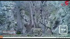 پلنگ ایرانی در کیاسر مازندران + فیلم