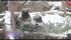 بازی خرس پاندا در برف و طوفان + فیلم