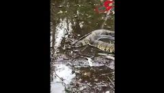 هجوم مارهای غول پیکر خطرناک پس از طوفان ! +فیلم