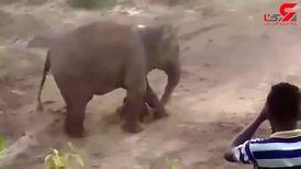 له شدن یک جوان مزاحم زیر پای فیل ها! / آنها فیل مادر و بچه اش را با سنگ زدند + فیلم لحظه حادثه
