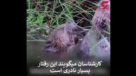تصاویری نایاب از بوکس دو سگ آبی! + فیلم