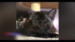 این گربه شبیه انسان است! +فیلم