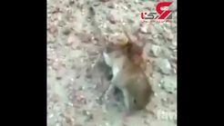 شکار موش توسط زنبور! + تصویر