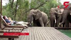 فیل در استخر شخصی یک زن و شوهر + فیلم