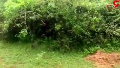 حمله پلنگ وحشی به سگ بیچاره در باغ وحش! /  مردم این سگ را جلوی پلنگ انداختند! +فیلم