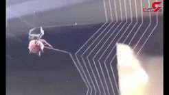هنرنمایی حیرت انگیز عنکبوت در تار تنیدن + فیلم
