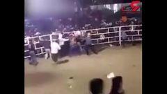 گاو خشمگین عاملان درگیری خونین را تنبیه کرد+فیلم