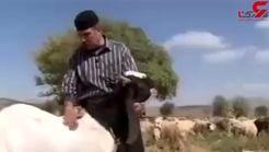 فیلم دیدنی از بزی هم قد الاغ و هم قیمت یک اسب اصیل / سلطان مار ایران چه گفت؟