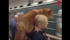 روباه بر روی دوش زن جوان سوار مترو شد!+فیلم