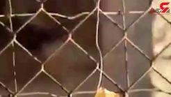 وحشت سربازان اسرائیلی از نزدیک شدن به حفاظ توری +فیلم