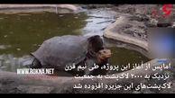 بازنشستگی لاک پشتی که در نیم قرن ۸۰۰ بار پدر شد! + فیلم