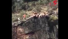 مرگ تلخ سگ هایی که برای شکار روی صخره ها +فیلم