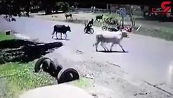 حمله گاو عصبانی به مرد موتورسوار+فیلم